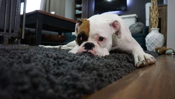 Un perro triste, referencial - Sputnik Mundo