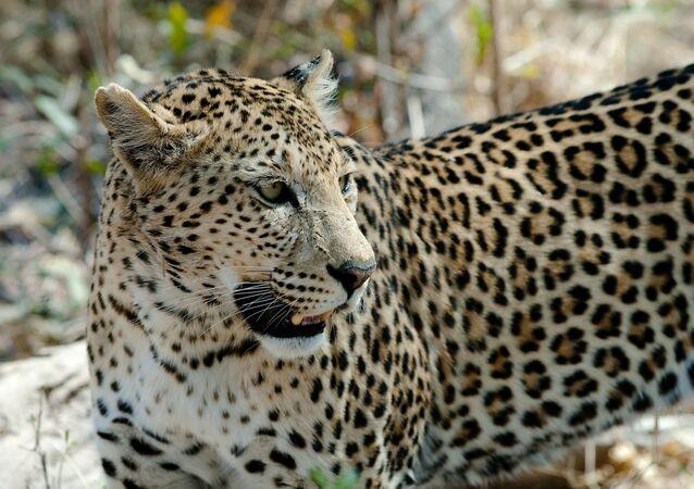 Leopardo (imagen de archivo)