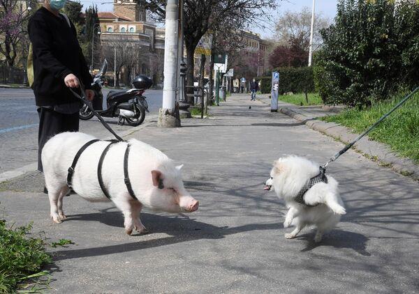 Una mujer que tiene por mascota un cerdo lo pasea por Roma, Italia. - Sputnik Mundo
