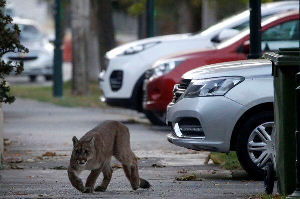 Un puma se pasea por las calles de Santiago de Chile. - Sputnik Mundo