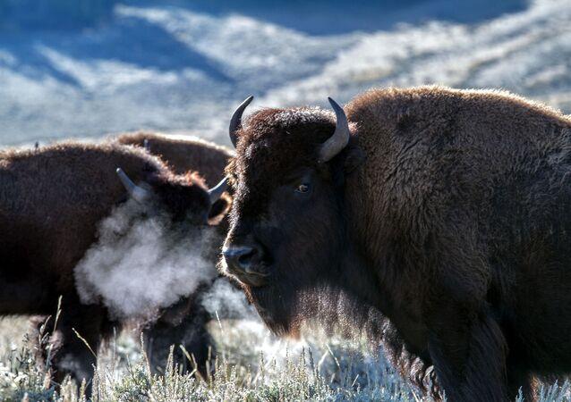 Bisontes (imagen referencial)