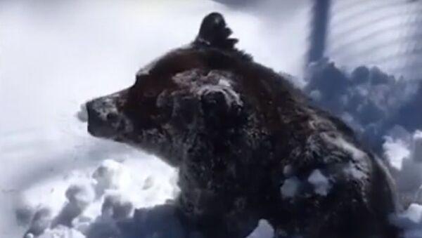 Así se despierta un oso tras una larga hibernación - Sputnik Mundo