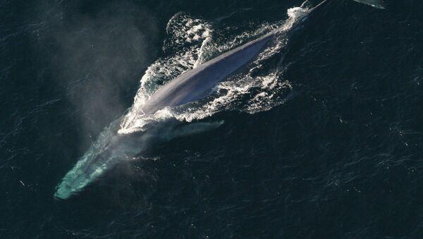 Una ballena - Sputnik Mundo