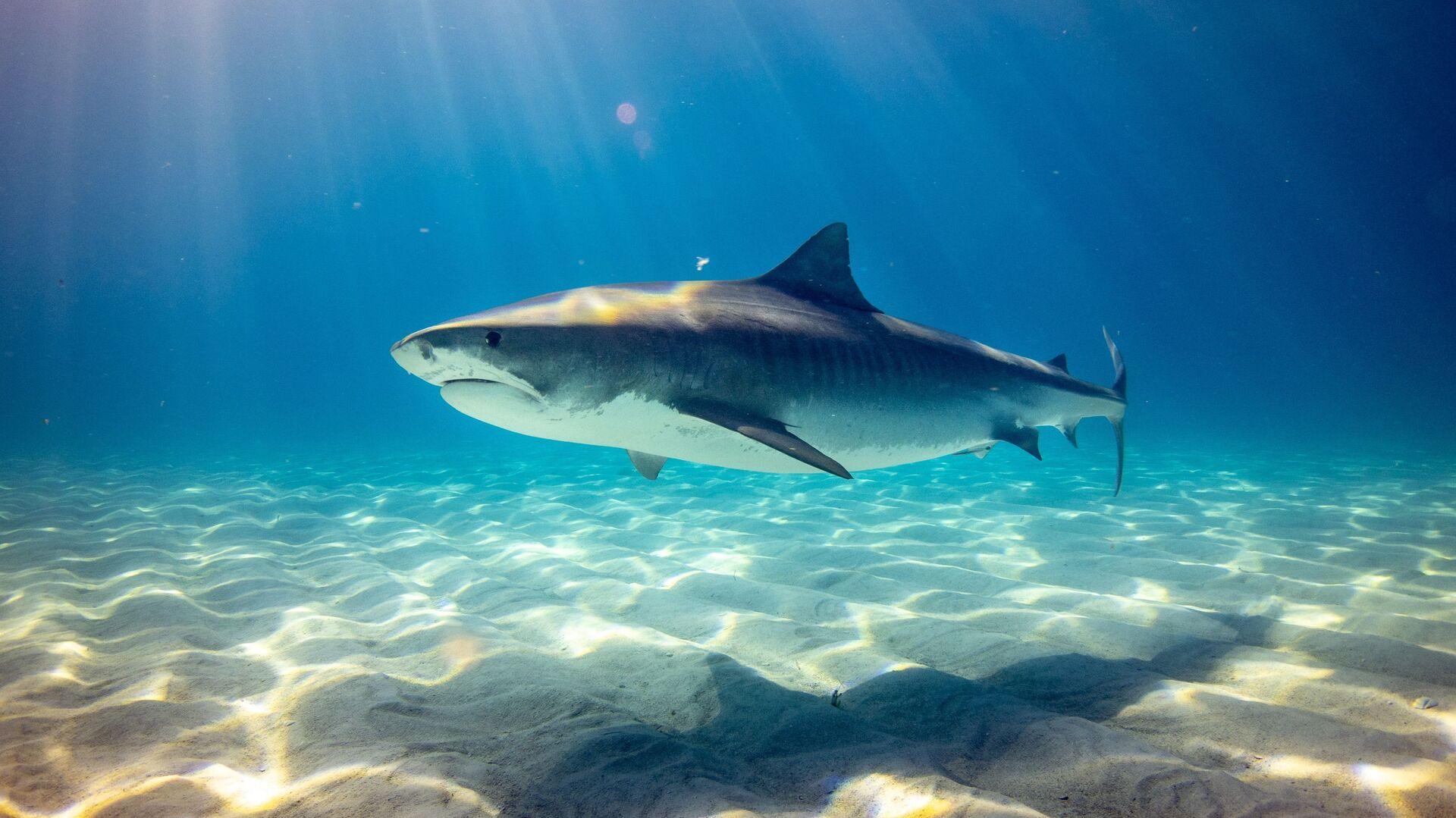 Un tiburón (imagen referencial) - Sputnik Mundo, 1920, 04.06.2021