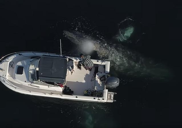 Unas amistosas ballenas se acercan a un bote para jugar