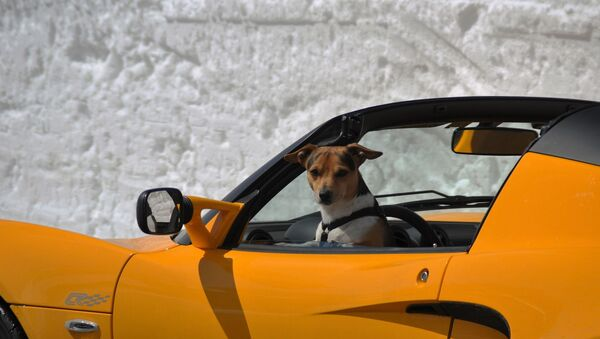 Un perro al volante, imagen ilustrativa - Sputnik Mundo