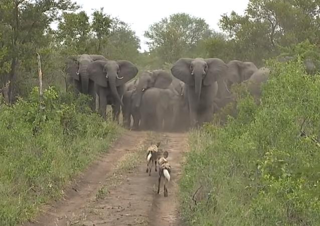 ¡Escudo vivo! Así protegen estos elefantes a sus crías de una manada de hienas