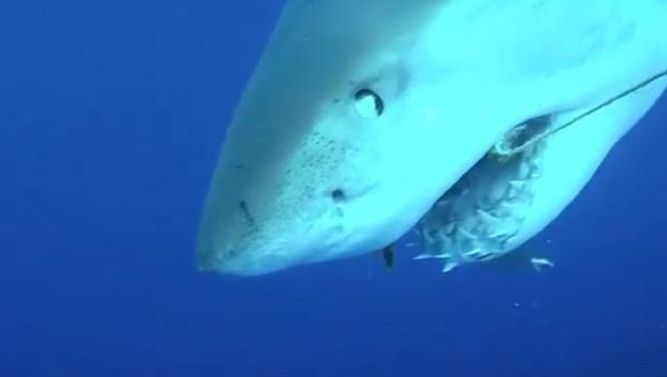 Así se le cae un diente a un tiburón - Sputnik Mundo