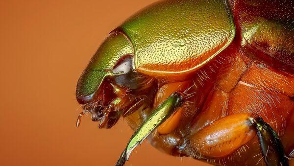Un escarabajo (imagen referencial) - Sputnik Mundo