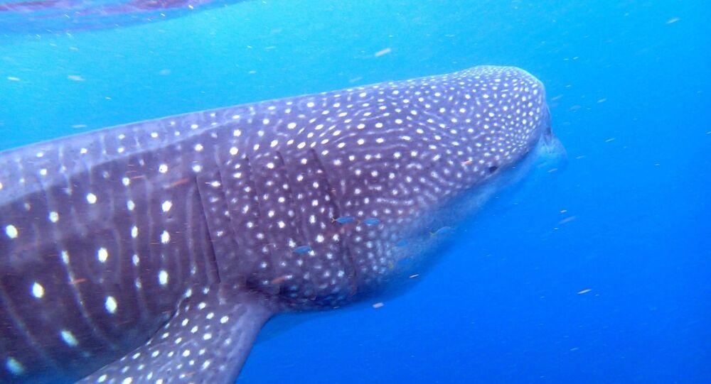 Un tiburón ballena