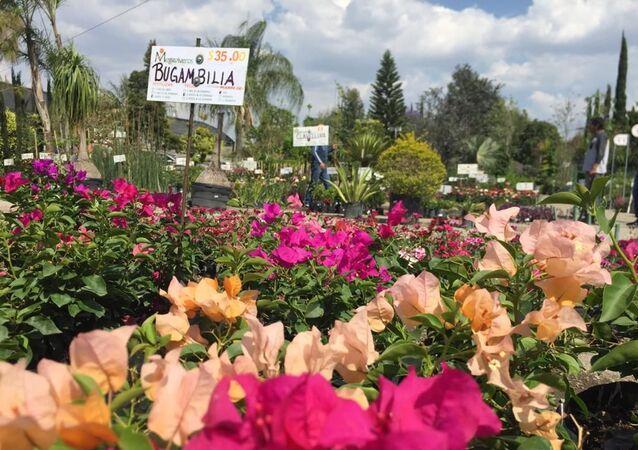 Plantas medicinales en los Viveros de Atlixco, en las faldas del volcán Popocatépetl