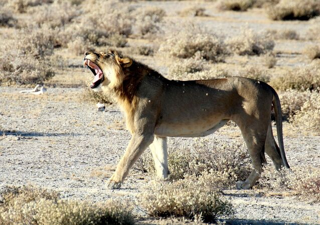 Un león