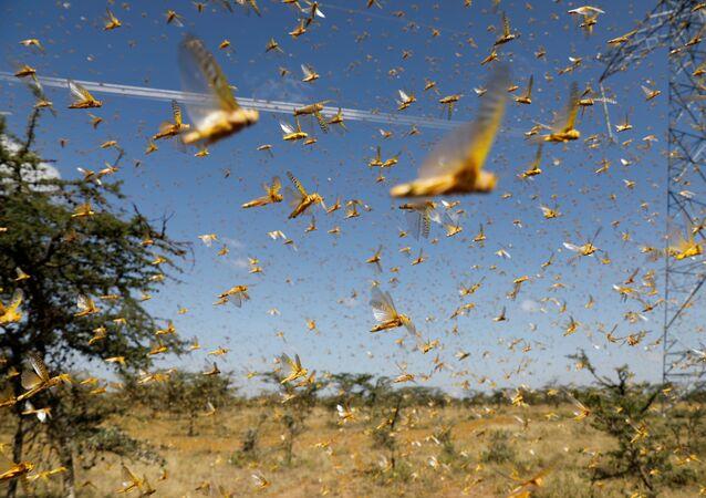 La invasión de langostas