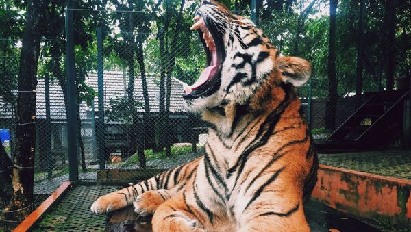 Un tigre (imagen referencial) - Sputnik Mundo