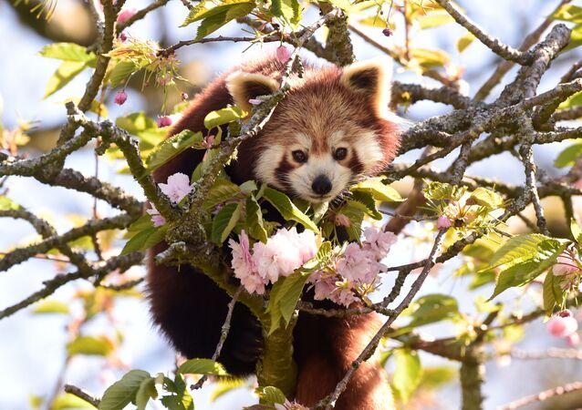 Una panda roja (imagen referencial)