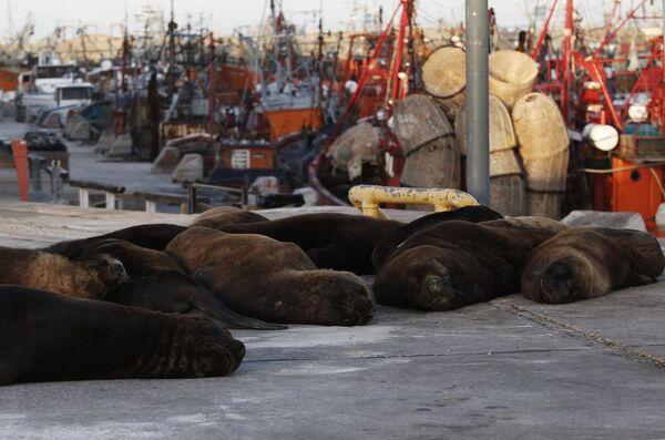Cuando la naturaleza se toma un respiro: lobos marinos toman las calles de una ciudad argentina   - Sputnik Mundo