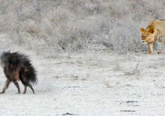 Una hiena poco precavida se convierte en la cena de tres leones