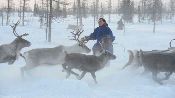 Un pastor de renos de la península de Yamal, Rusia (archivo) - Sputnik Mundo