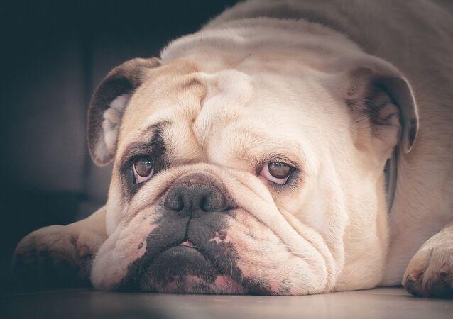 Un bulldog inglés (archivo)