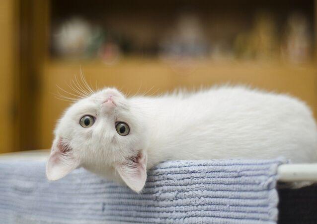 Un gato blanco (archivo)
