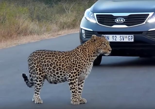 Una familia de leopardos cruza la calle del parque Kruger en Sudáfrica