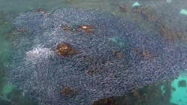 Vista aérea de la migración de salmones australianos - Sputnik Mundo