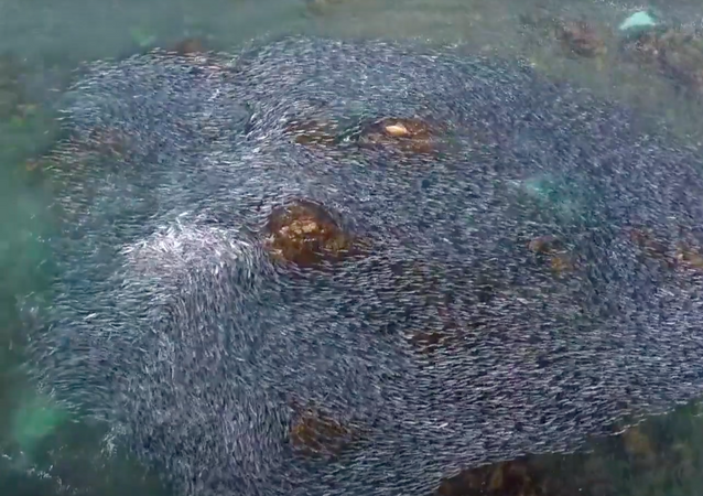 Vista aérea de la migración de salmones australianos
