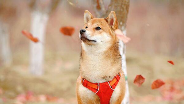 Un perro de la raza Shiba Inu - Sputnik Mundo