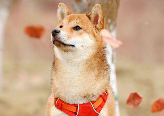 Un perro de la raza Shiba Inu