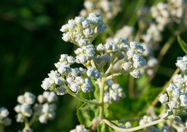 Flores de la quinina (imagen referencial)