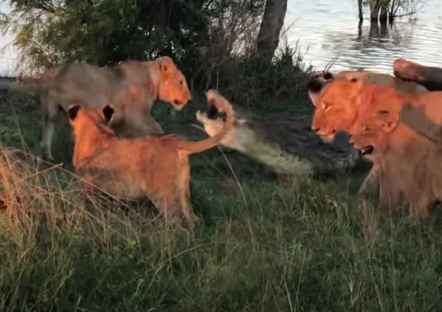 Pelea entre depredadores: un cocodrilo arrinconado ataca a 5 leones
