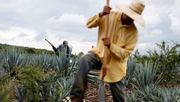 Campo de agave azul en Jalisco, México - Sputnik Mundo