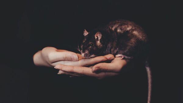 Una rata - Sputnik Mundo