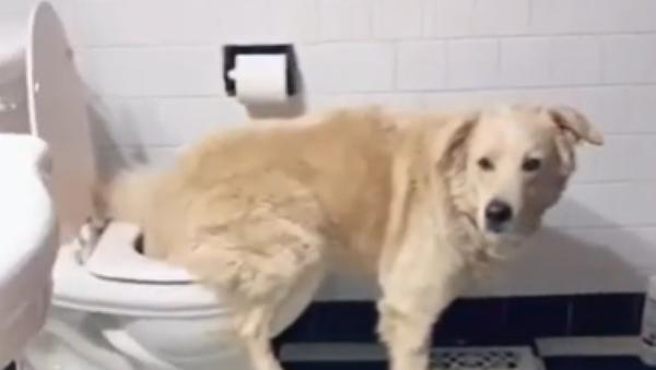 Este inteligente perrito sabe usar el baño - Sputnik Mundo
