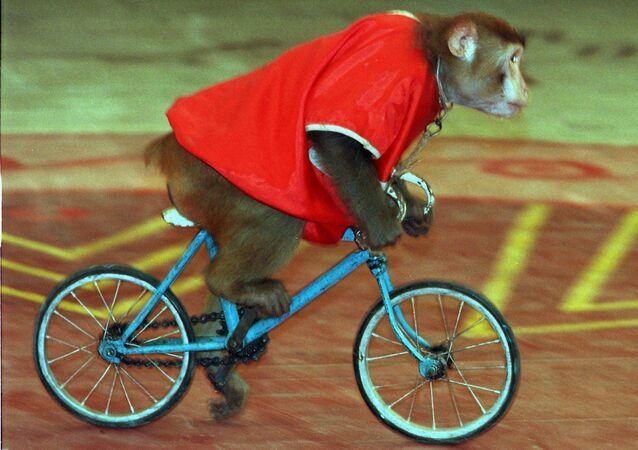 Un mono en bicicleta, imagen referencial