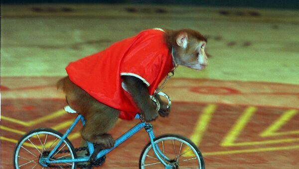 Un mono en bicicleta, imagen referencial - Sputnik Mundo