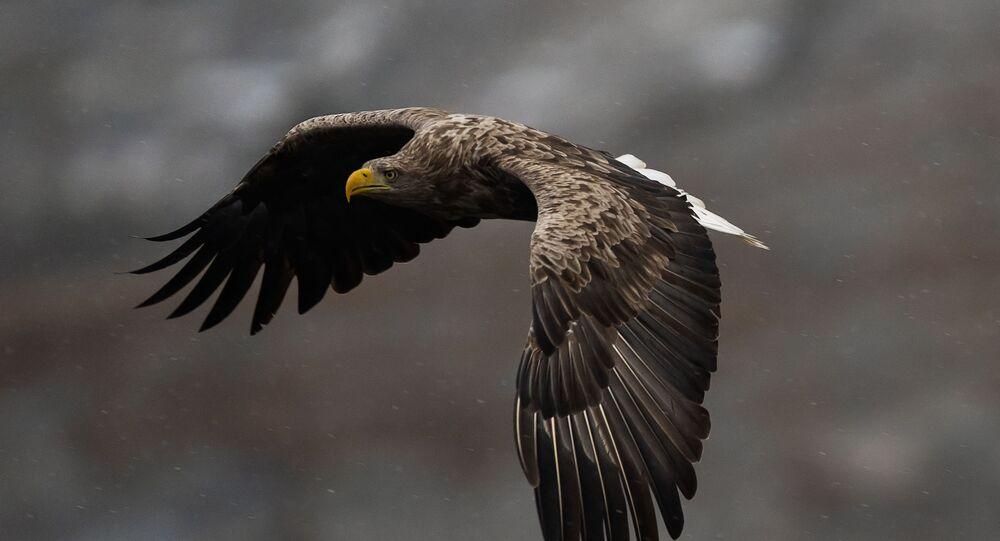 Un águila de cola blanca