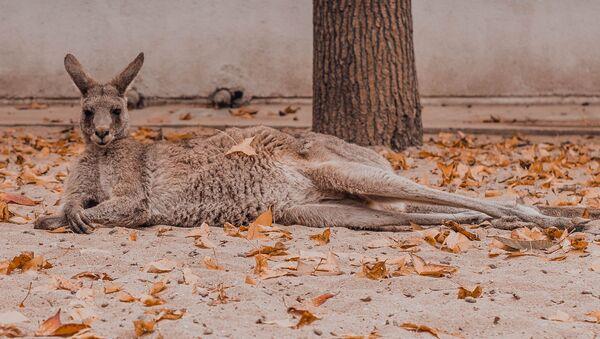 Un canguro - Sputnik Mundo