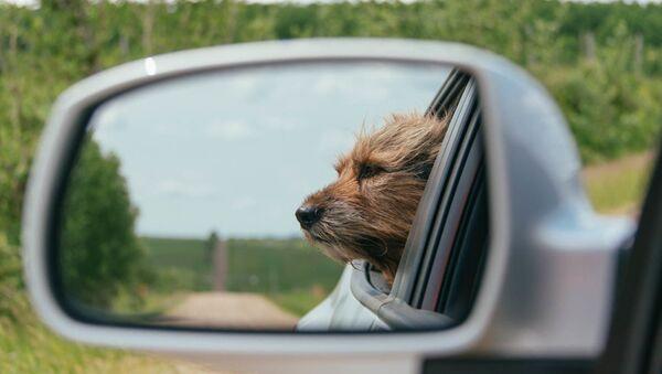 Un perro en un coche - Sputnik Mundo
