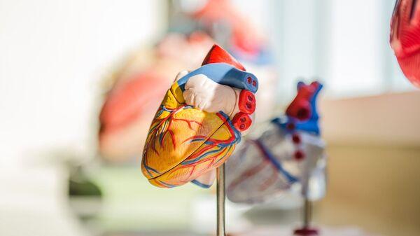 Modelo anatómico de un corazón. Imagen referencial - Sputnik Mundo