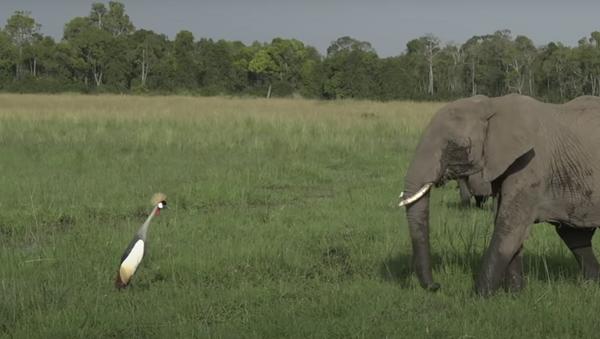Este valiente pájaro no se acobarda y se enfrenta a un enorme elefante  - Sputnik Mundo