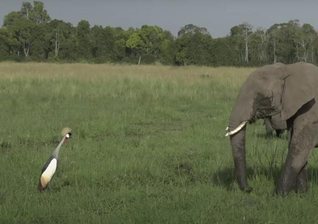 Este valiente pájaro no se acobarda y se enfrenta a un enorme elefante