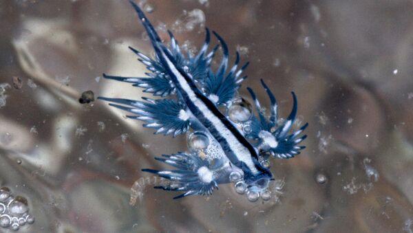 Un dragón azul (Glaucus atlanticus) - Sputnik Mundo