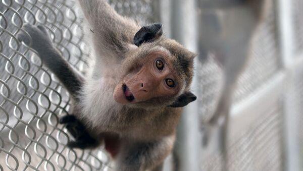 Un macaco - Sputnik Mundo