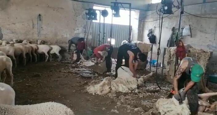 Esquiladores uruguayos trabajando en España