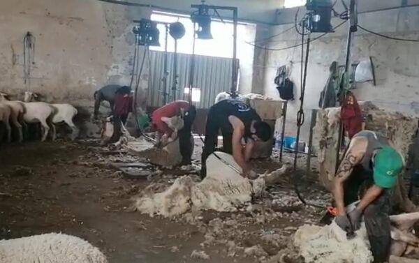 Esquiladores uruguayos trabajando en España - Sputnik Mundo