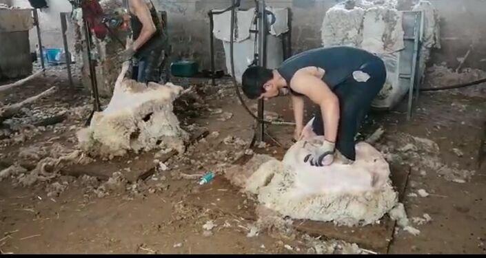 Un esquilador uruguayo pela a las ovejas en España
