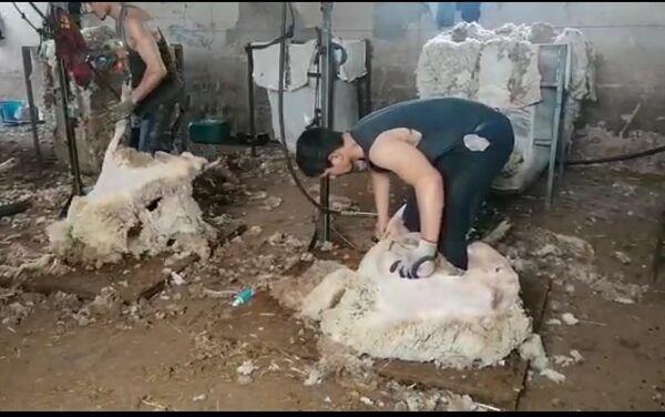 Un esquilador uruguayo pela a las ovejas en España - Sputnik Mundo