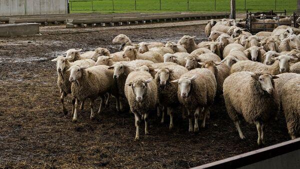 Un ganadero con su rebaño de ovejas durante la crisis del coronavirus en el Bercial - Sputnik Mundo