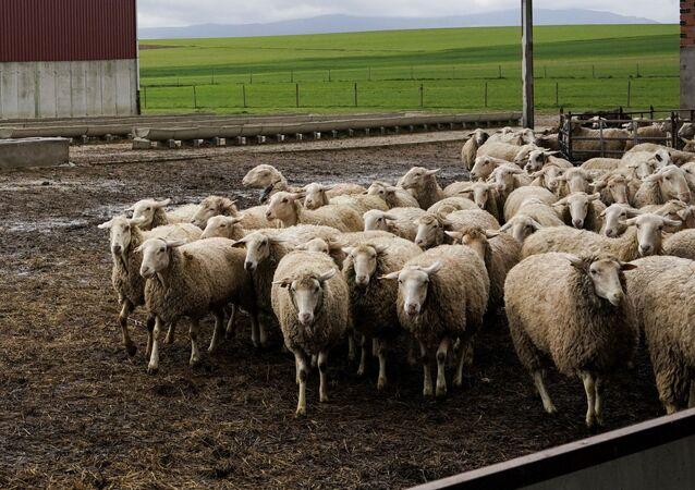 Un ganadero con su rebaño de ovejas durante la crisis del coronavirus en el Bercial